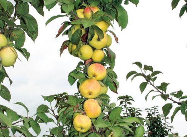 Некоторые колоновидные сорта яблонь можно выращивать в Сибири