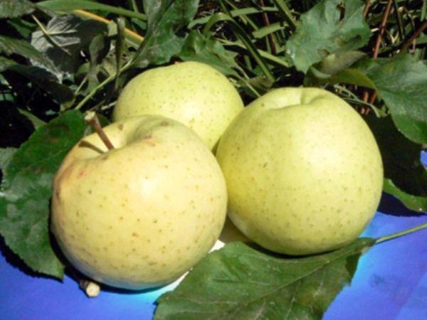 Медок - хороший сор колоновидных яблонь