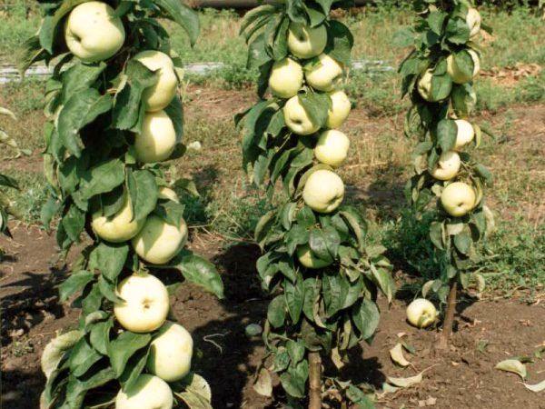 Урожай яблок Президент удается собрать под конец лета