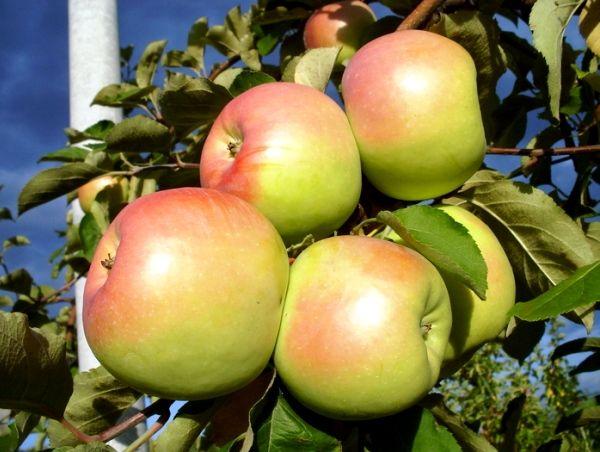 Яблоки Синап издавна ценятся вкусовыми качествами