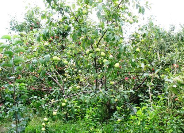Яблоня типа синап Орловский высокоурожайна
