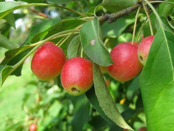 Яблоня сливолистная
