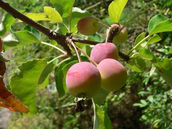 Яблоня Китайка - это не сорт, а вид яблони
