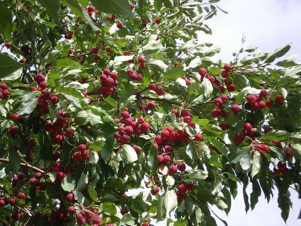 Яблоня сливолистная хорошо влияет на урожай вблизи растущих яблок