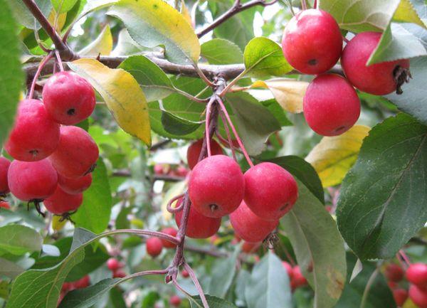 Яблоня сливолистная более известная как Китайка