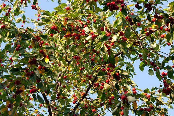 Урожай культуры собирают осенью, в сентябре