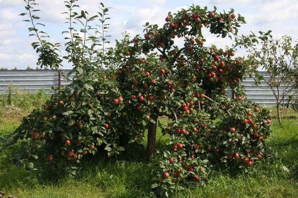 Яблоня Веньяминовское устойчива перед паршой