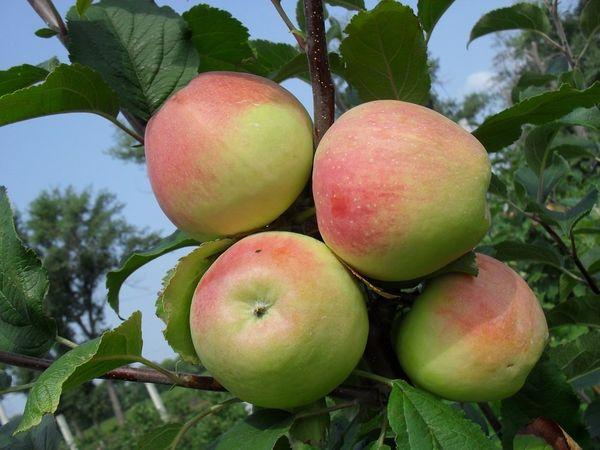 Строевское - один из видов яблонь, устойчивых к парше
