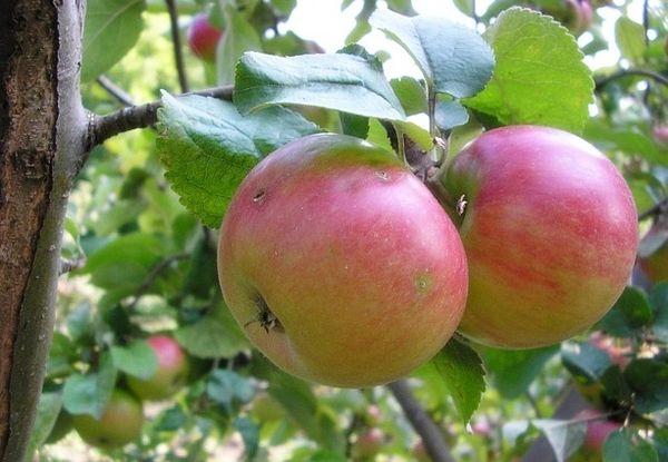 Сорт яблони Строевское относится к элитным зимним сортам