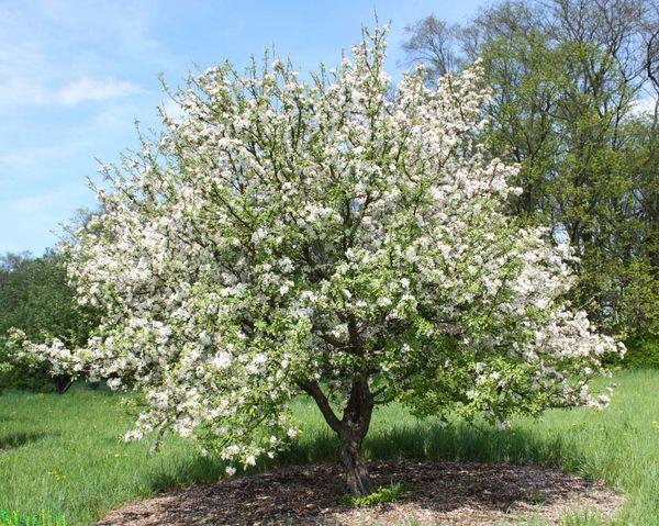 Яблоня Строевское достигает максимум 3 м в высоту