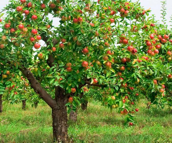 У яблони Строевское невероятно высокий иммунитет