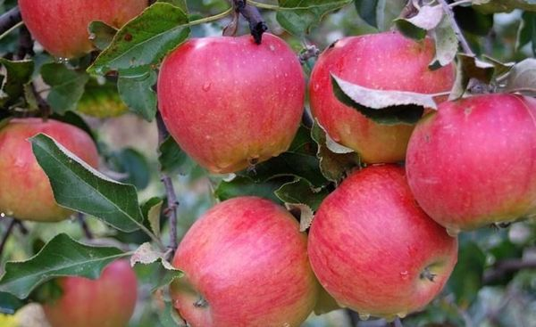 Вес одного яблока может достигать 130–140 г
