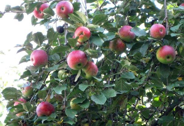 Яблоко сорта Свежесть легко разбивается при ударах