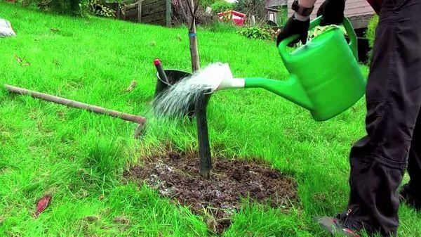 После посадки яблоню нужно поливать