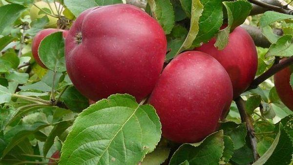 Яблоки Коваленковское хранятся максимум 2 месяца