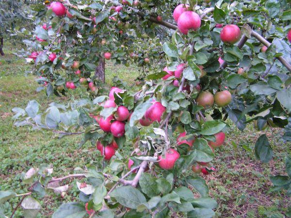 Яблоня Веньяминовское обладает высокой зимостойкостью
