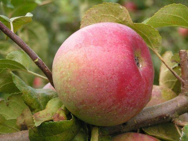 Средний вес яблока составляет 100–140 грамм