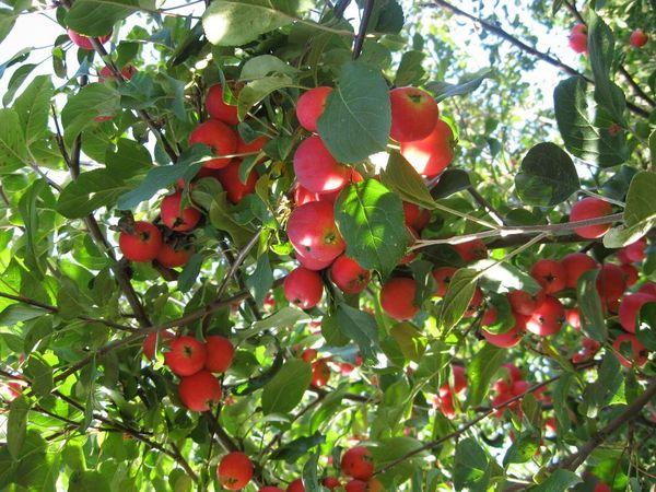 Садоводы ценят сорт Ветеран за высокую степень скороплодности