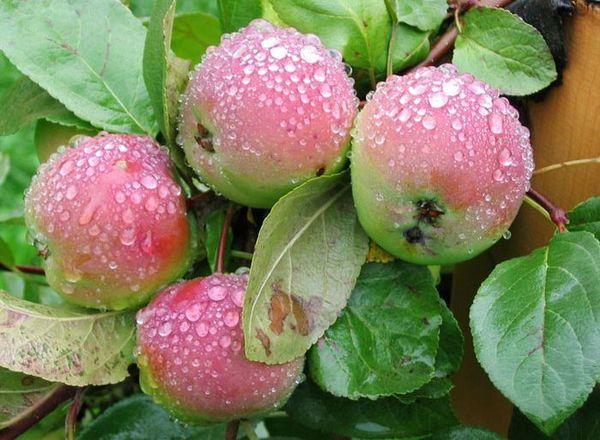 С дерева можно срывать недоспевшие фрукты