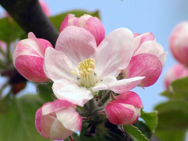 Яблоня сорта Вишневое считается зимней разновидностью