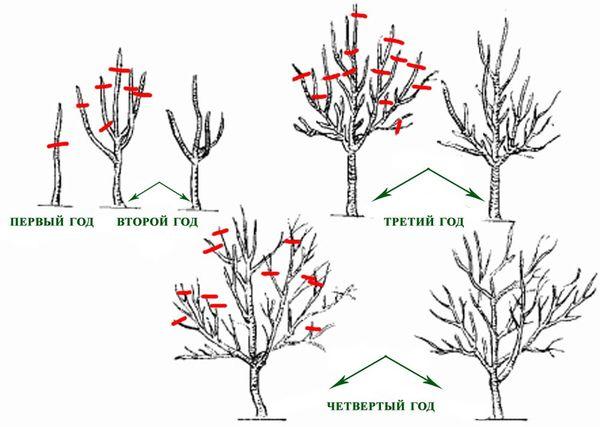 Инструкция по обрезке яблони