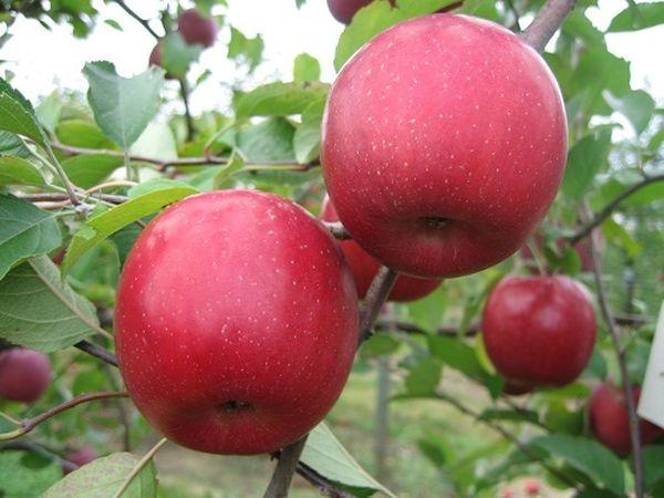 Яблоки Вишневое ценятся своими вкусовыми качествами