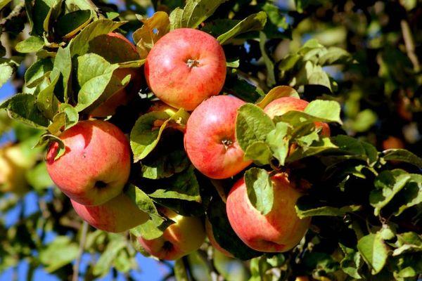 Вес плодов Яблочного спаса порядка 210 гр