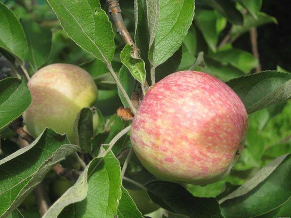 Яблочный спас крайне редко поражается паразитами