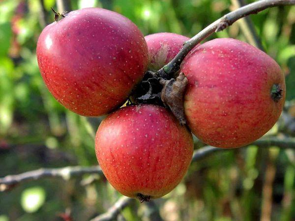 Созревание яблок происходит в середине августа