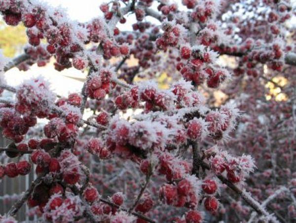Яблоня Ягодная способна переносить мороз до -55 градусов