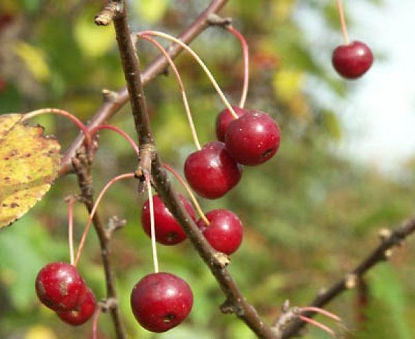 Плоды яблони небольших размеров - до 1 сантиметра