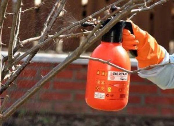 Обработка яблонь железным купоросом защищает от вредителей