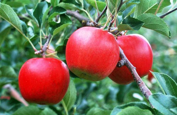 Колоновидные яблони можно сажать ближе сильнорослых