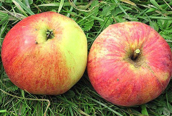 Собирать яблоки Аэлита можно с середины сентября