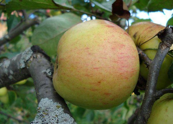 Урожай Дружное состоит из яблок с весом порядка 170 г