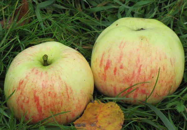 Для плодов сорта Избранница характерны крупные размеры