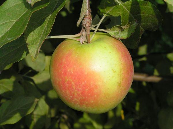 Яблоня Теллисааре плодоносить с 4–5 года жизни