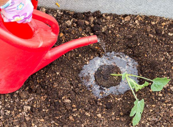Поливать арбузы необходимо только теплой водой