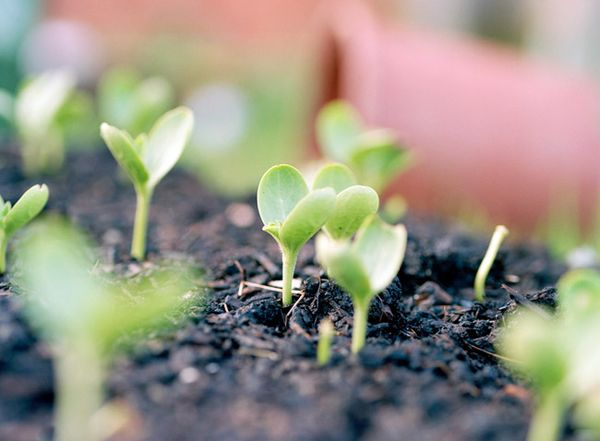 Рассадуарбузов нужнопересаживать в месячном возрасте