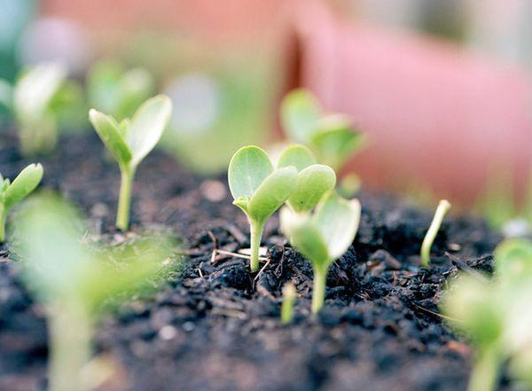 Посадить арбузы на рассаду необходимо до конца апреля