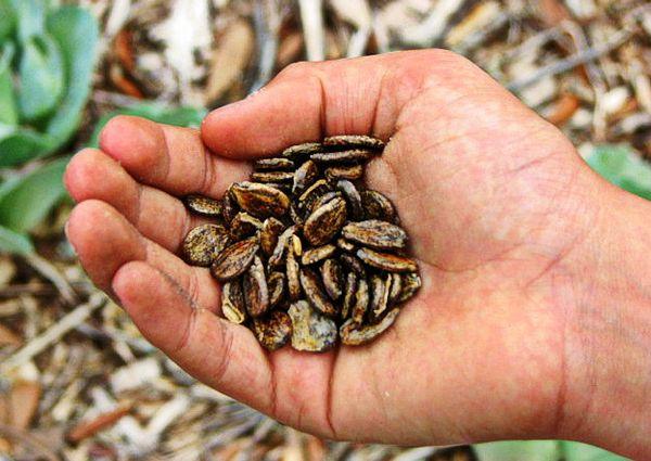 Оставьте семена арбуза на солнце за неделю до посева