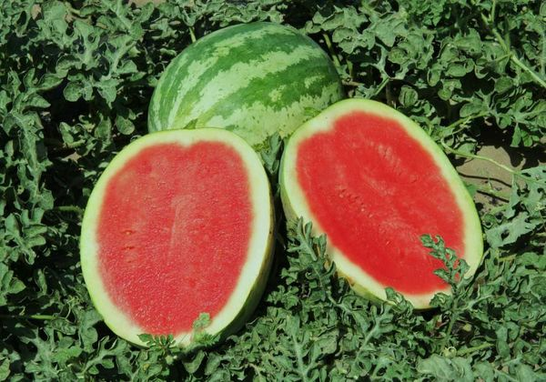 На Урале рекомендуют садить холодоустойчивые сорта арбузов