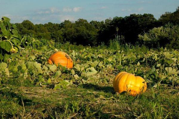 Широкорядный - наиболее популярный метод посадки тыквы