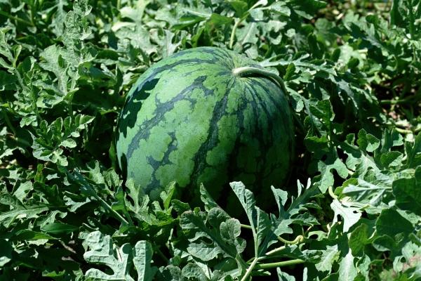 Спелость арбуза можно определить по подсохшей плодоножке