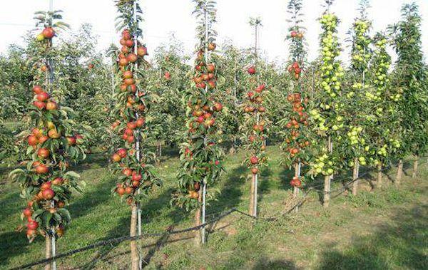 Колоновидные яблони советуют подвязывать к опорам