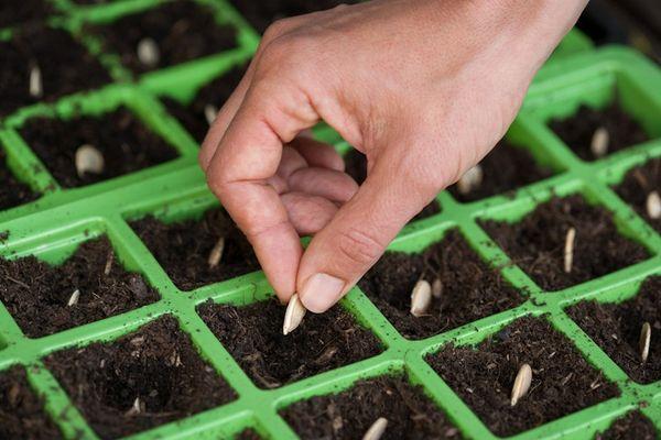 В каждую лунку помещают 3–5 штук семян тыквы