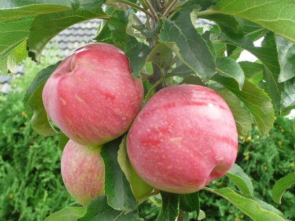 Колоновидная яблоня - посадка и уход