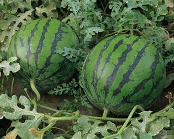 Для выращивания в теплице рекомендуют арбуз Огонек