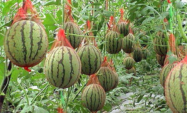 Арбузы часто выращивают в теплице
