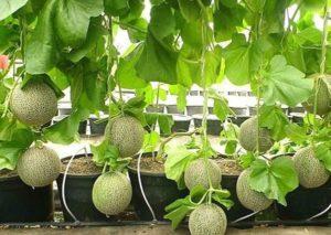 Дыню можно выращивать на балконе